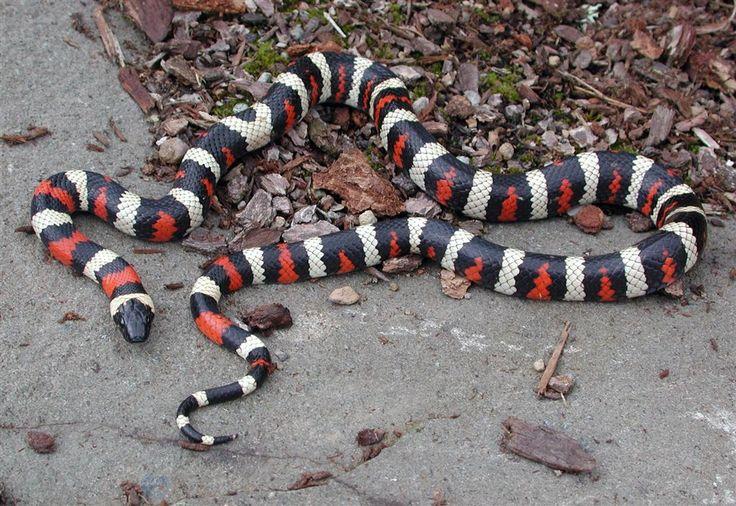260 Best Snakes Images On Pinterest Amphibians