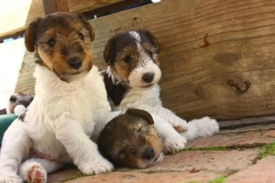 Wire Hair Fox Terrier Puppies