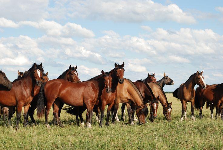 Tropilla de caballos criollos a campo