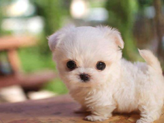 Tiny white puppy