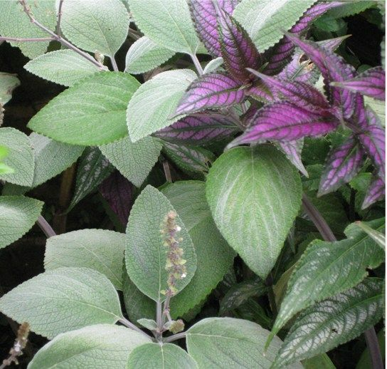 """Plectranthus argentatus 'silver plectranthus', """"silver shield"""" grows to 60cm and less sprawling, otherwise to approx 1m, lilac flowers in autumn (on left in pic)"""