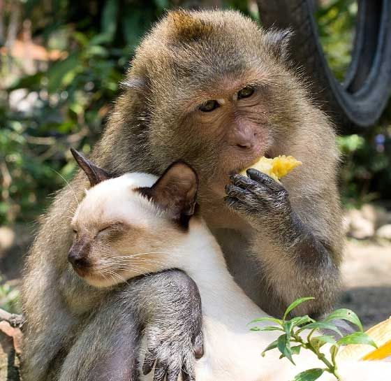 A cat has found himself a little unusual friend, a monkey who is so protective of his feline friend that they are constantly together wherever they go.