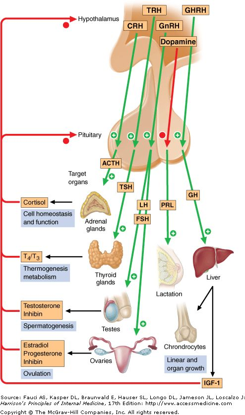 Print: Chapter 333. Disorders of the Anterior Pituitary and Hypothalamus