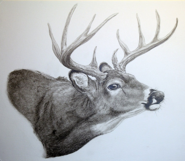 White Tail Drawing Jimmie S Painting Ideas Pinterest