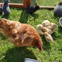 Elever des poules pondeuses dans son jardin (Fiches conseils)
