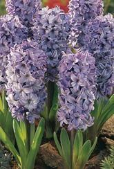 Hyacinth Viking- Bulbs
