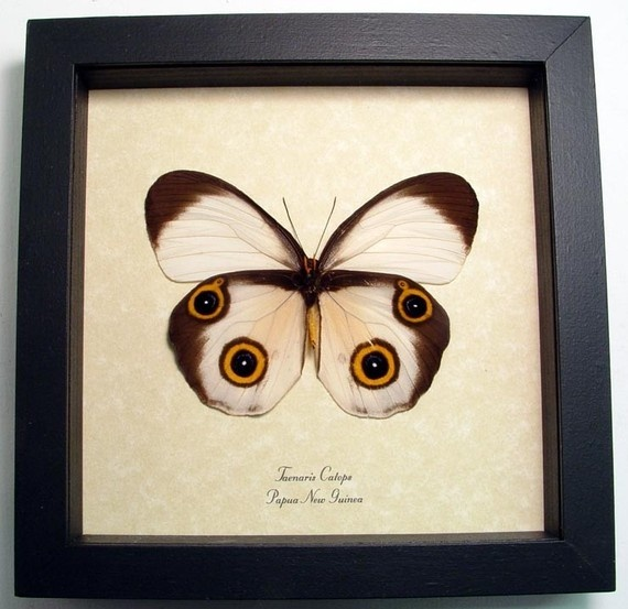 Taenaris Catops real butterfly display. By REALBUTTERFLYGIFTS on Etsy. $39.99