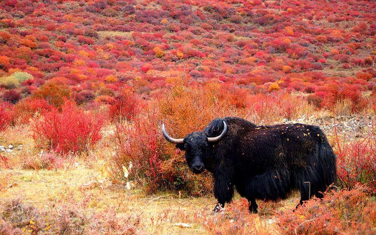In Tibet hat das erste Yak-Museum eröffnet | © CC momo via Flickr