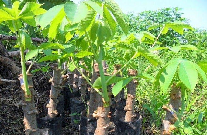 Cara Gambar Pohon Singkong Panduan Lengkap Budidaya Singkong Yang Baik Dan Benar Kabartani Cara Mencabut Pohon Singkong Yout Menggambar Pohon Tanaman Menanam