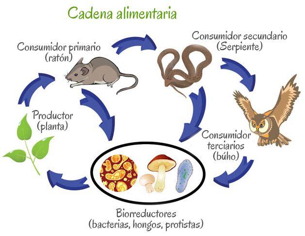 La desaparición de alguna especie de esta cadena alimenticia alteraría el equilibrio ecológico