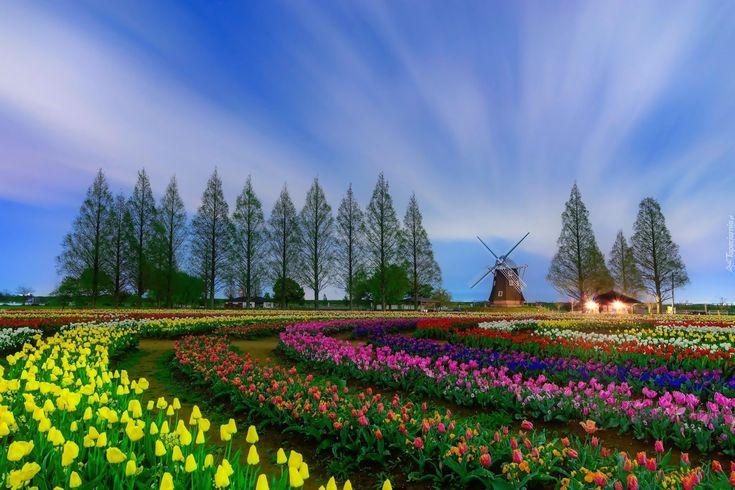 Pole, Tulipany, Domy, Wiatrak, Drzewa, Holandia