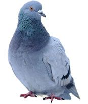 Are you tired of pigeons messing up your rooftop? If yes, than contact Ecopest Inc., pest management company located in Edmonton, Red Deer. Call 780-448-2661 now!!