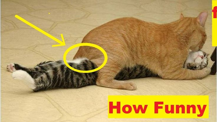 The Funniest and Most Humorous Cat Videos Ever-   Extremely hard TRY TO ...