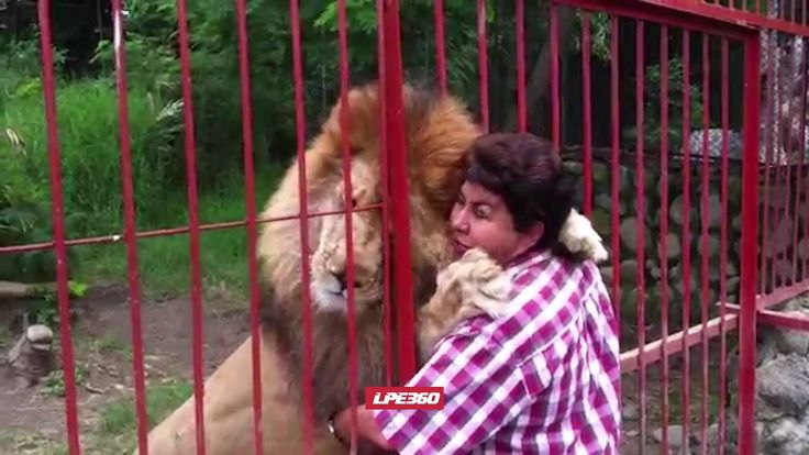 Lion Gives Hug Through Cage