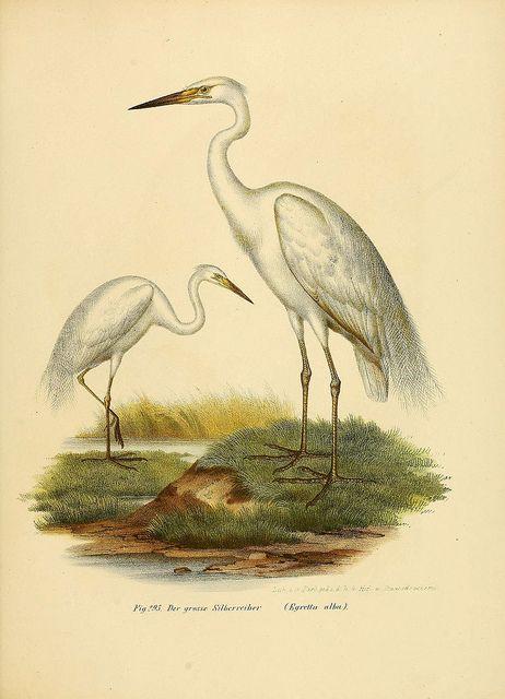 Bilder-atlas zur Wissenschaftlich-populären Naturgeschichte der Vögel in ihren sämmtlichen Hauptformen Wien,K.K. Hof und Staatsdruckerei,1864