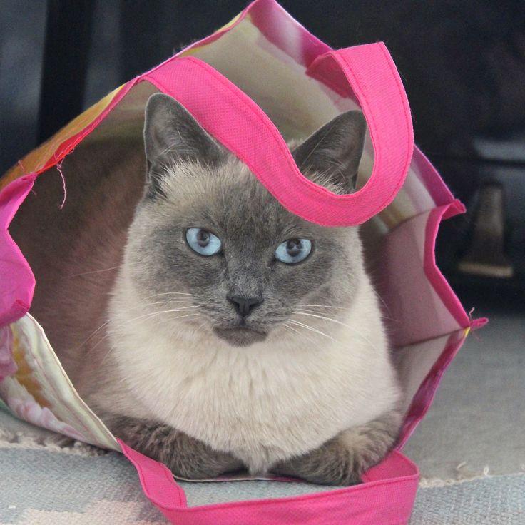 Oriental Cat Ears Pinned Back