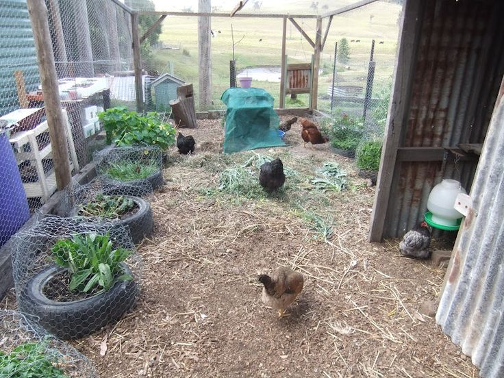 Hmm. Caging plants in the coop so they have opportunity to grow back. (no link) tyres of greens in the chook house