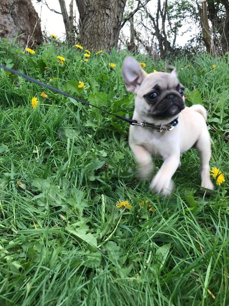 Pugs for sale - Short-Term | Free Classified Ads in UK. Buy, sell, short term rent items, motor rentals, property rentals, short term loans, payday loans
