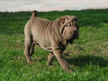 #ChineseSharPei – Pictures, Facts, and User Reviews http://www.pindoggy.com/pin/9106/