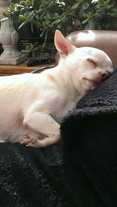 Join the very best pet group on facebook Jamie a little white chihuahua