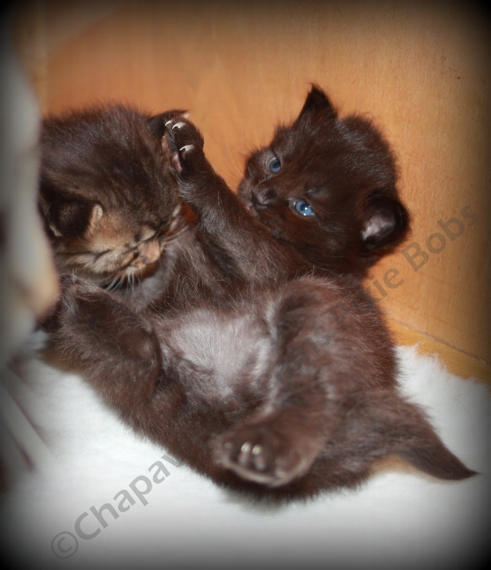 Pixie Bob Cat - Kittens