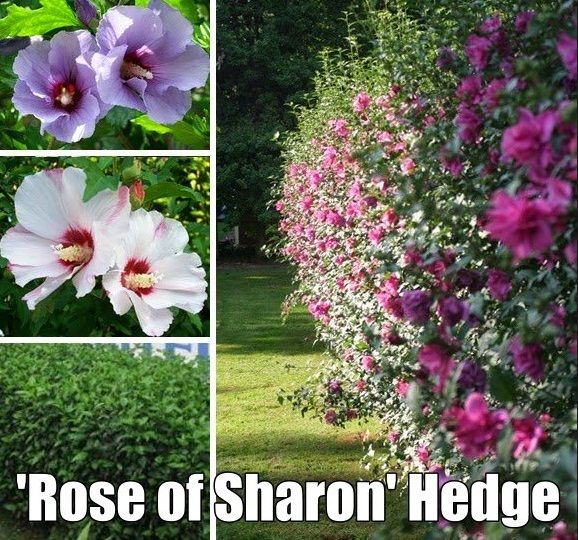 Rose of sharon hedge