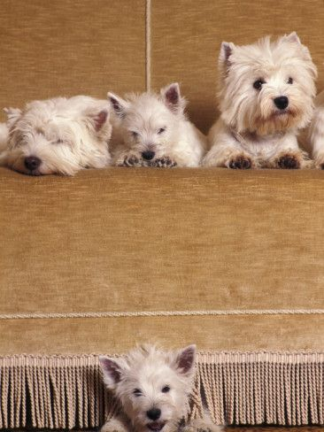 17 Best Images About Westie And Dog Stuff On Pinterest