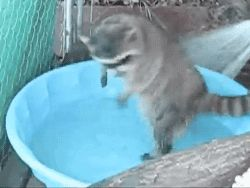 gifsboom: Raccoon Playing In The Water