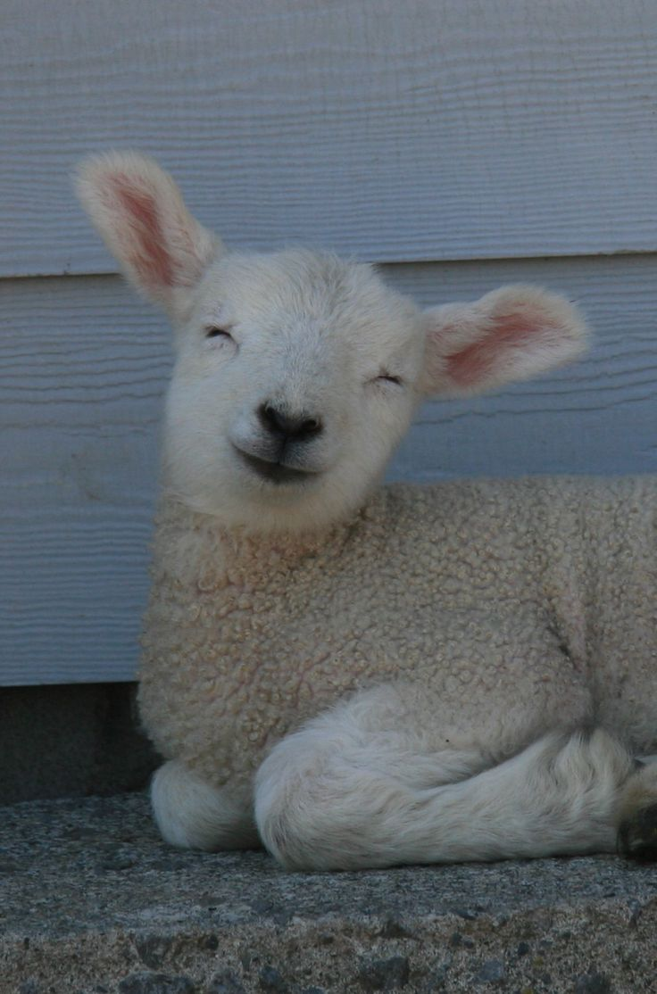 14 best sheep images on Pinterest | Farm animals, Baby lamb and Sheep for Happy Baby Lamb  8lpfiz