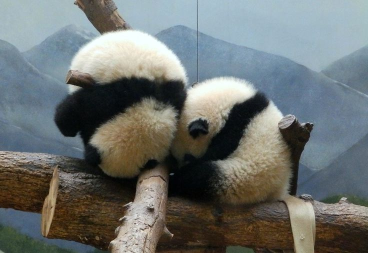 Panda cubs sleep comfortably in some unconscionable positions. Here's the proof! #ZAFanFriday submission from Facebook user Connie S.