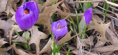 Saffron crocus | Growing saffron, Garden guide, Saffron crocus