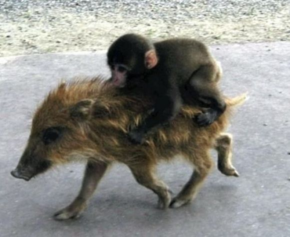 adorable monkey riding on pig's back