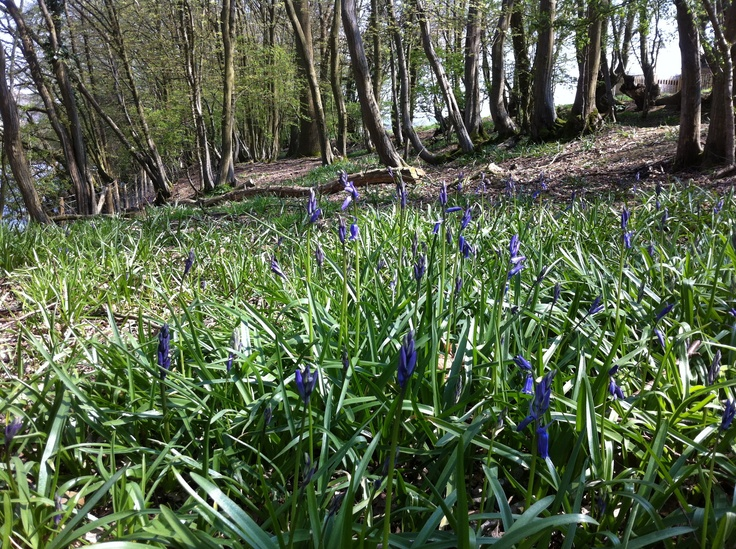 First Bluebells of 2013.