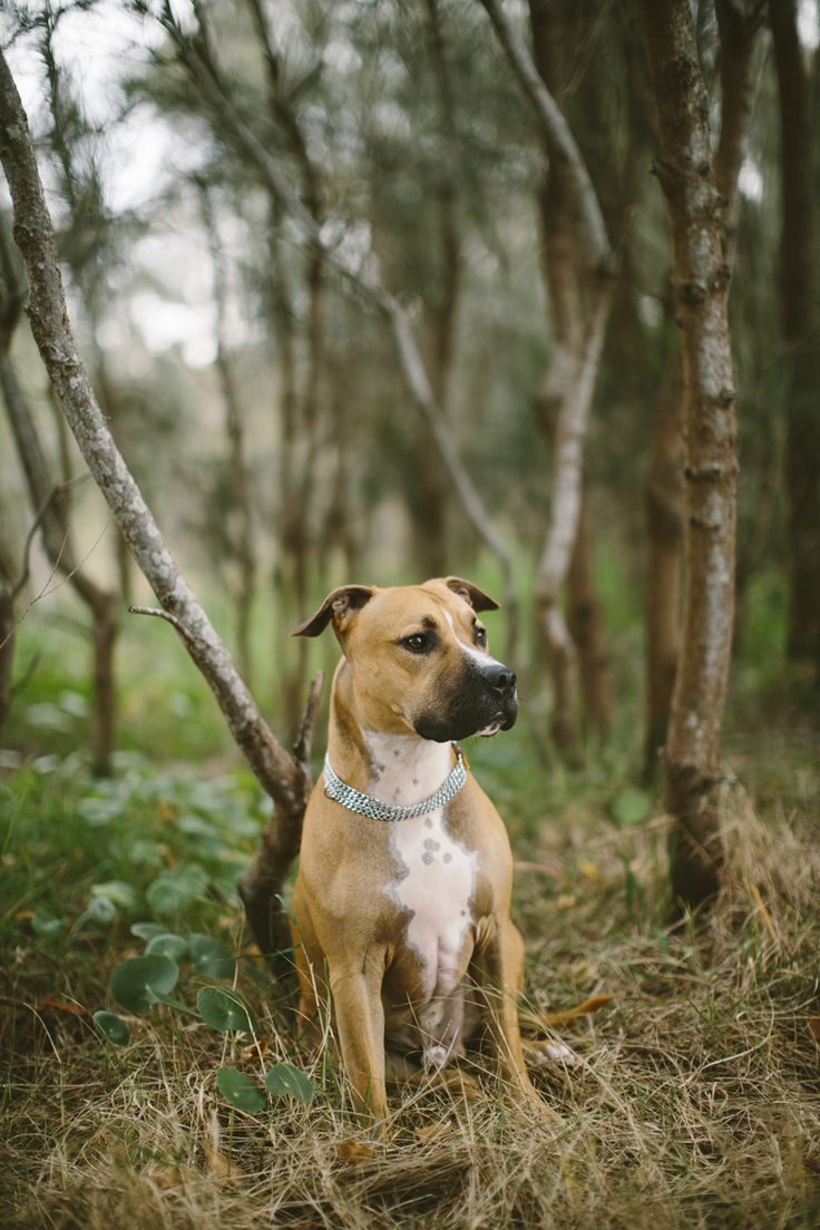 Pet photography. Portrait of Boof an American Staffordshire Terrier, check out the chest muscles! Image: Adam Cavanagh Photography http://adamcavanagh.com.au