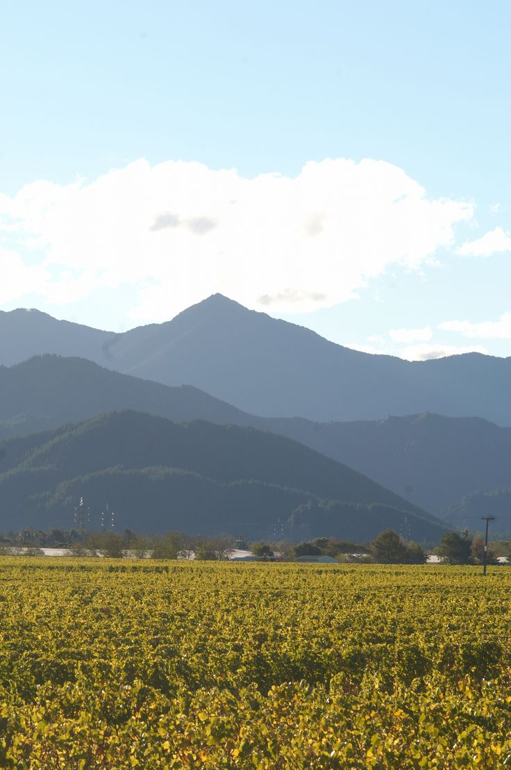 One of Mount Riley's vineyards with the majestic mountain in the background