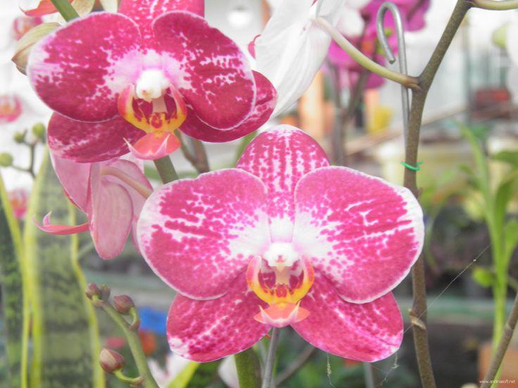 Variedad orquideas