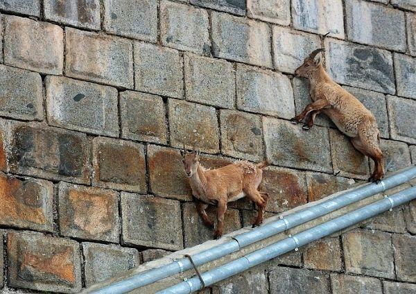 горные козлы фото на скалах: 8 тыс изображений найдено в Яндекс.Картинках