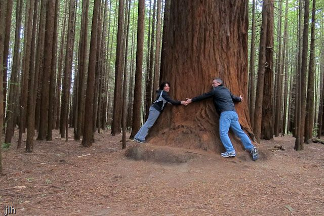 Tree hugging takes on a new meaning when trying to show the size of this New Zealand Red Wood Tree in Rotorua.