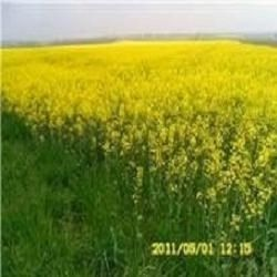 My Photo of a field of Canola or Rape seed plants painting our valleys yellow during Springtime LAW OF NATURE SAYS TAKE CARE OF ME AND I WILL TAKE CARE OF YOU ...On the other hand