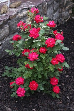 knockout-rose how and when to prune.  Spring 1/3 back to shape and remove dead branches.  Also other tips.