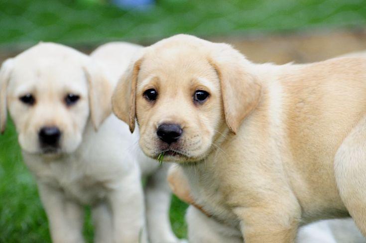 yellow labrador | KC Registered Yellow Labrador puppies | Birmingham, West Midlands ...