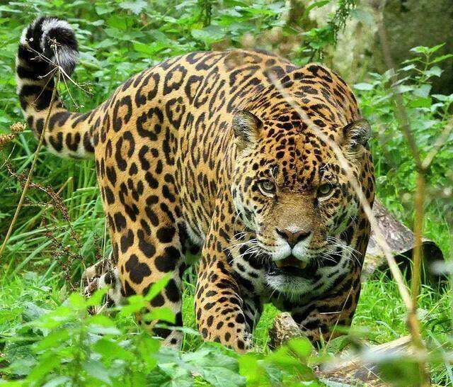 Jaguar Felis Onca: 17 Best Images About Fierce Animals On Pinterest
