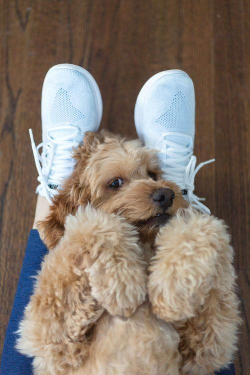 Coloring Pages Of Cute Animals Hard Cockapoo Puppies Baby Dogs Puppies