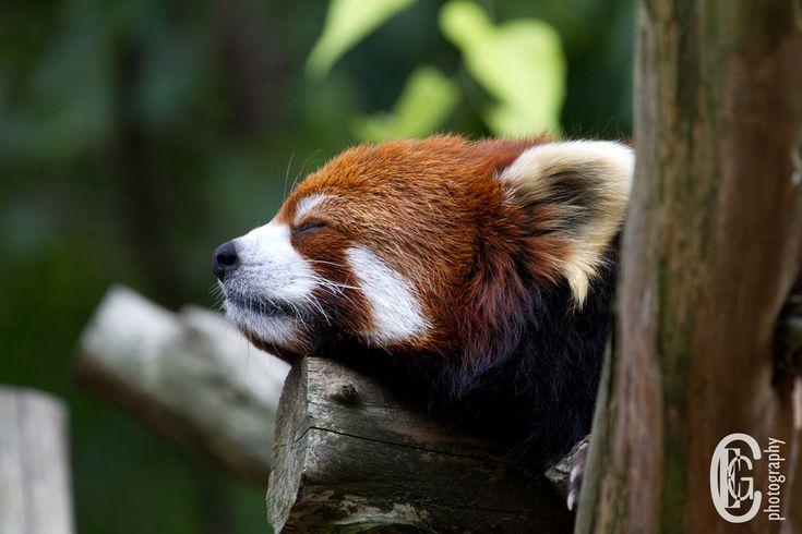 39 unieke plaatjes van rode panda's om bij weg te dromen.
