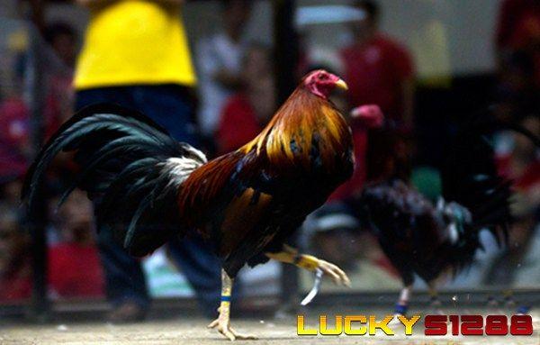 Keunggulan Dalam Bermain Sabung Ayam Secara Online | Daftar S128