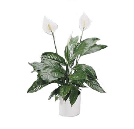 le spathiphyllum une plante aux vertus d polluantes pour. Black Bedroom Furniture Sets. Home Design Ideas