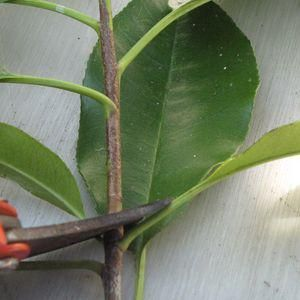 Comment bouturer le photinia: