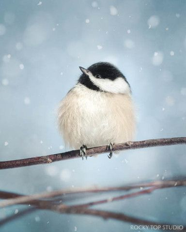 "Fine Art Bird Photography Print ""Chickadee in Snow No. 17"" by Allison Trentelman | rockytopstudio.com"