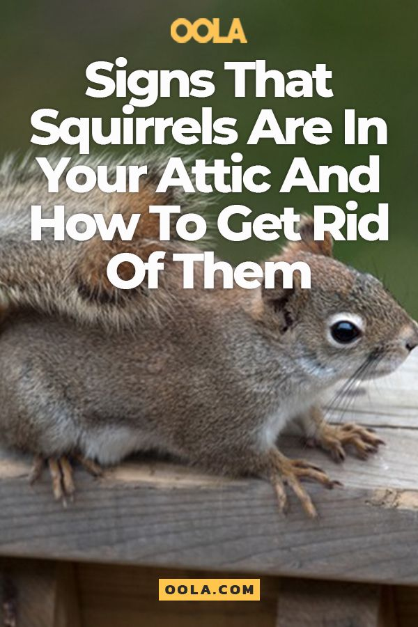 The Sinister Signs A Squirrel Is Calling Your Attic Home And How To Evict It Squirrel Repellant Get Rid Of Squirrels Squirrel