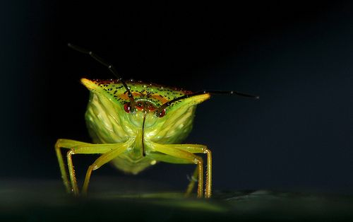Hawthorn Shieldbug (1 of 3)